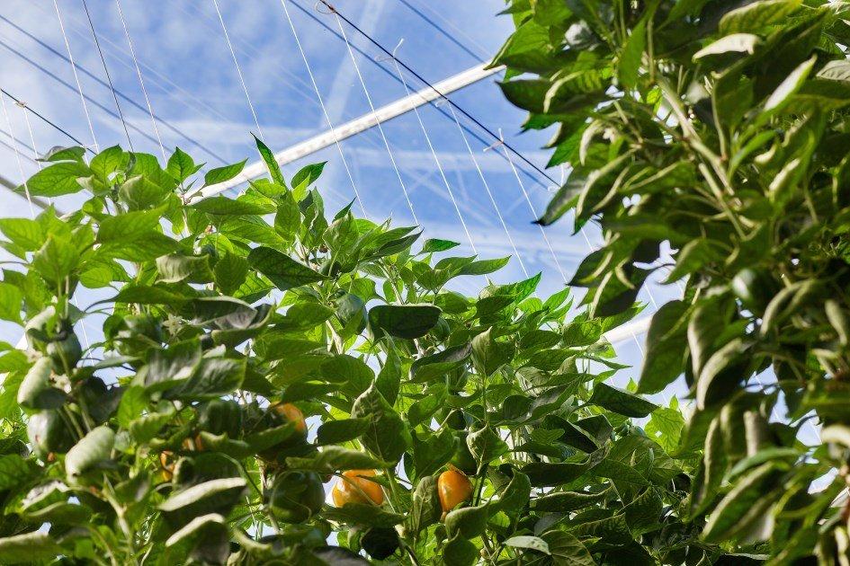 new greenhouse for bell pepper producer tas luttelgeest